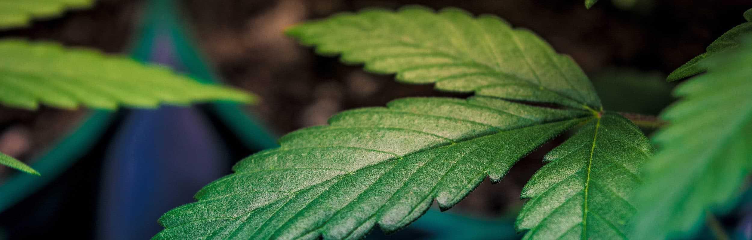 Cannabis Nachrichten